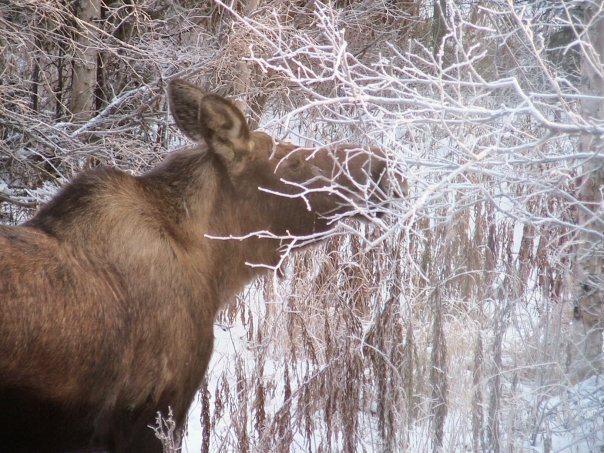 winter browsing moose